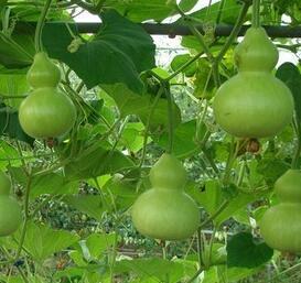 小亚葫芦种子